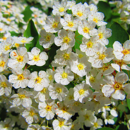 White Flowers, Canon POWERSHOT SX610 HS