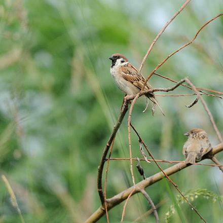Tree Sparrow, Nikon D3, Sigma 150-600mm F5-6.3 DG OS HSM | C