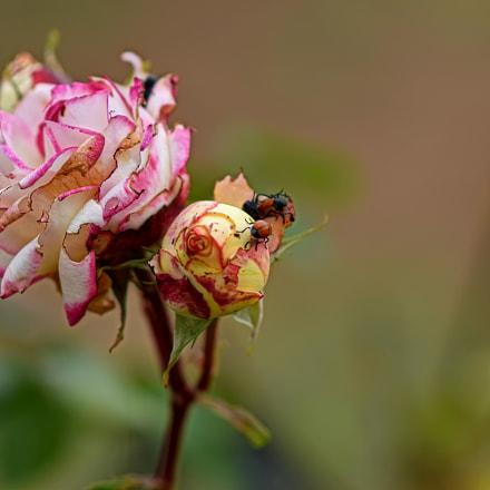 Roses, Nikon D5300, AF-S Nikkor 85mm f/1.8G