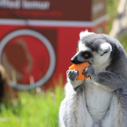 Lemur, Canon EOS 100D, Canon EF-S 55-250mm f/4-5.6 IS