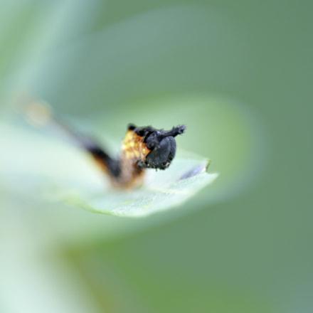 Y-Raupe | Y-Caterpillar, Nikon D300, Sigma APO Macro 150mm F2.8 EX DG HSM