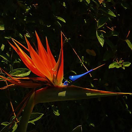 Oiseau de paradis, Panasonic DMC-LS60
