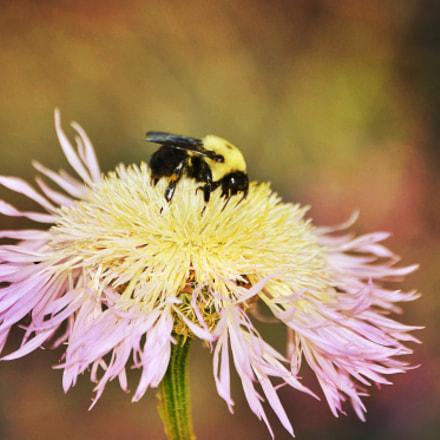 Bumble Bee On Wildflower, Nikon D3100, AF-S DX Zoom-Nikkor 55-200mm f/4-5.6G ED
