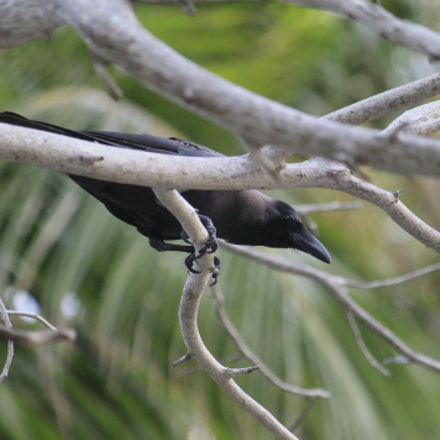 Creepy Crow, Canon EOS 1100D, Canon EF-S 55-250mm f/4-5.6 IS