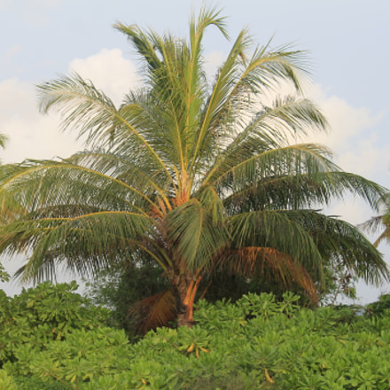 Palm Tree, Canon EOS 1100D, Canon EF-S 55-250mm f/4-5.6 IS
