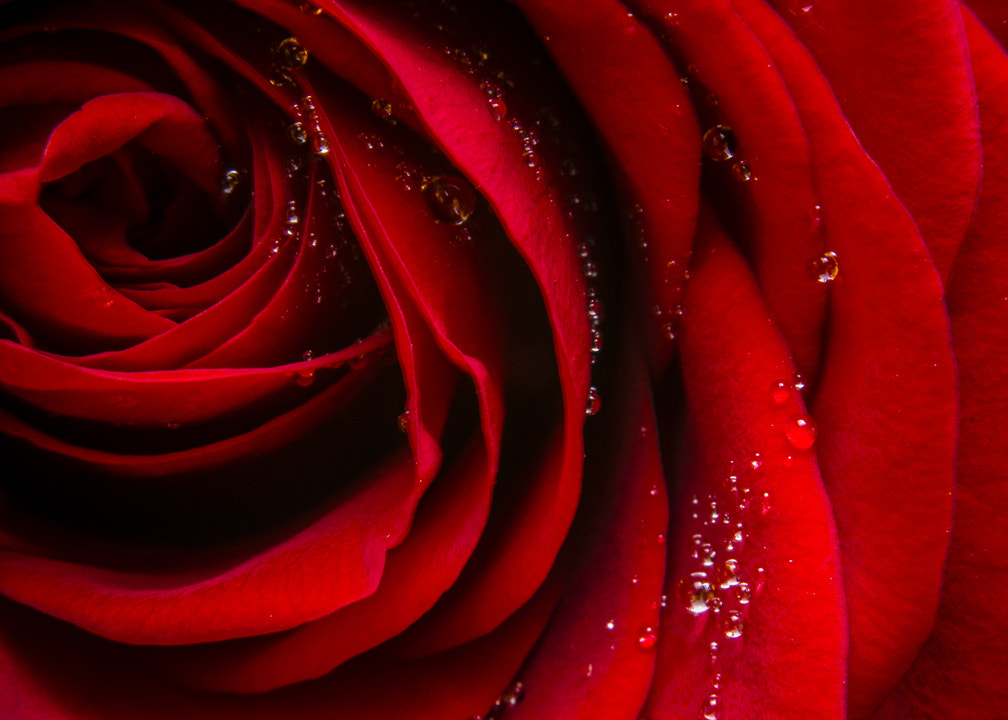 Photograph Roses are red... by Anders Winterstad on 500px
