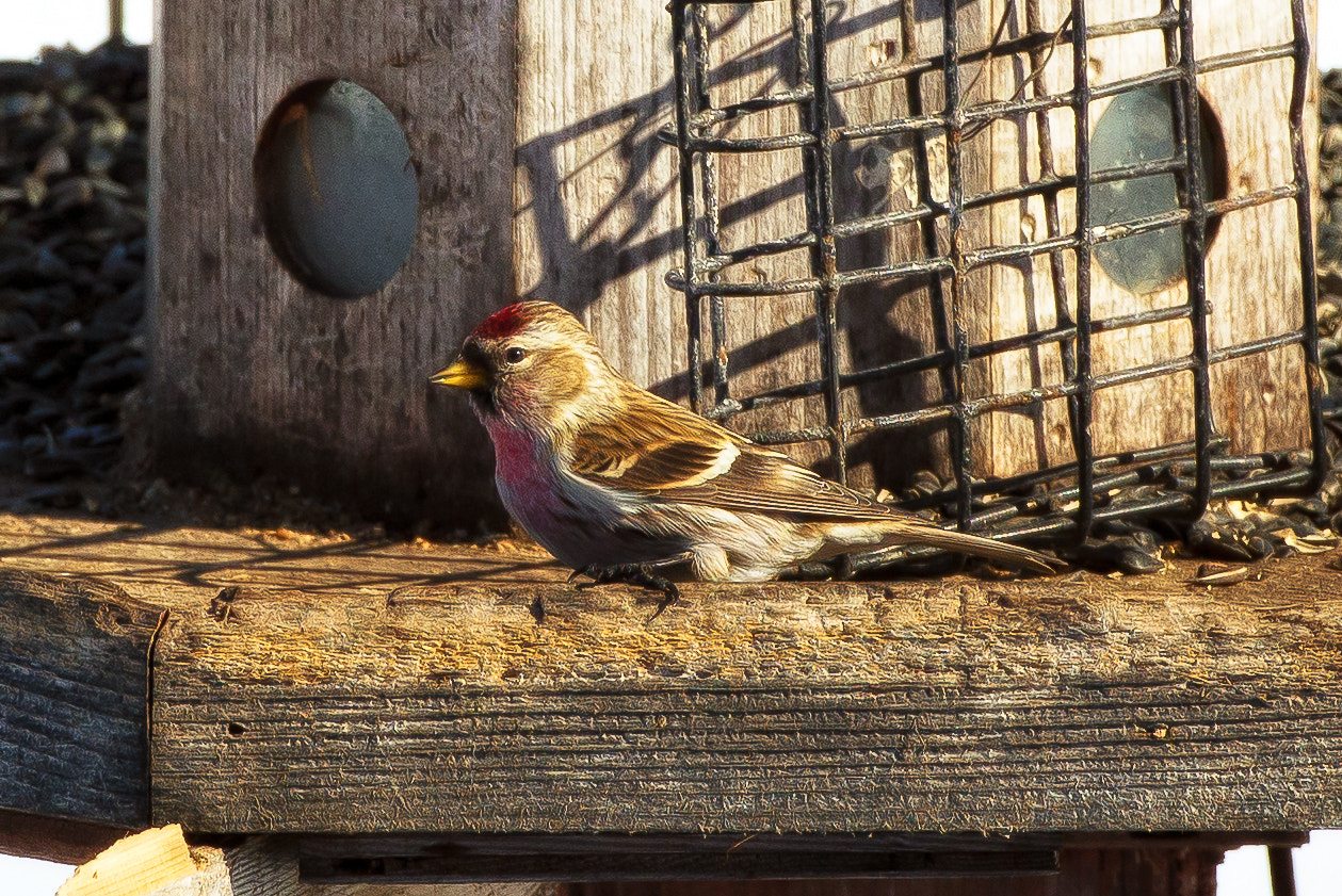 Photograph Redpoll Finch by Chris Lockwood on 500px