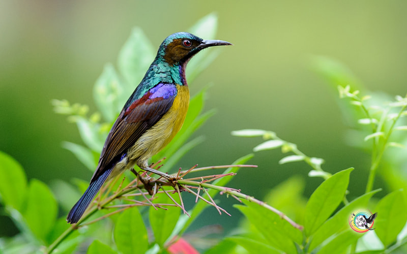 Photograph Brown-Throaded Sunbird by Andy Fu on 500px