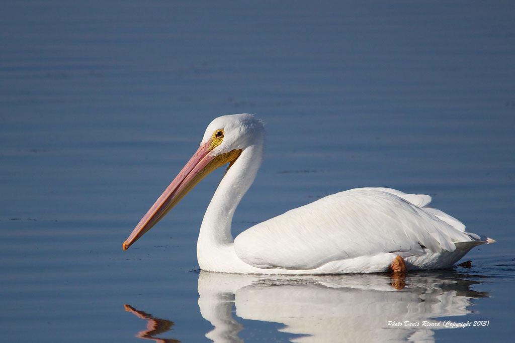 Photograph White Pelican by Denis Rivard on 500px