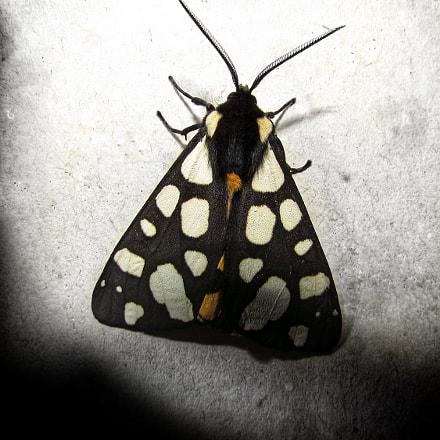 Moth, Canon POWERSHOT SX510 HS