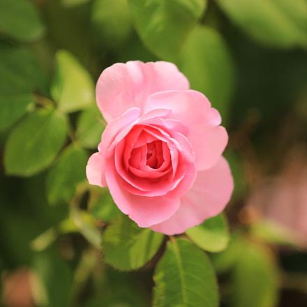Rose, Canon EOS 5D MARK IV, Canon EF 70-200mm f/2.8L IS II USM