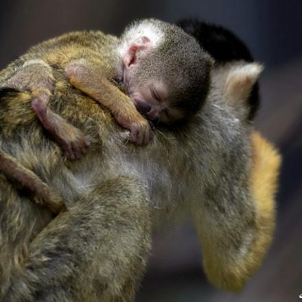 Squirrel Monkey, Canon EOS-1D X MARK II, Canon EF 300mm f/2.8L IS II USM + 2x