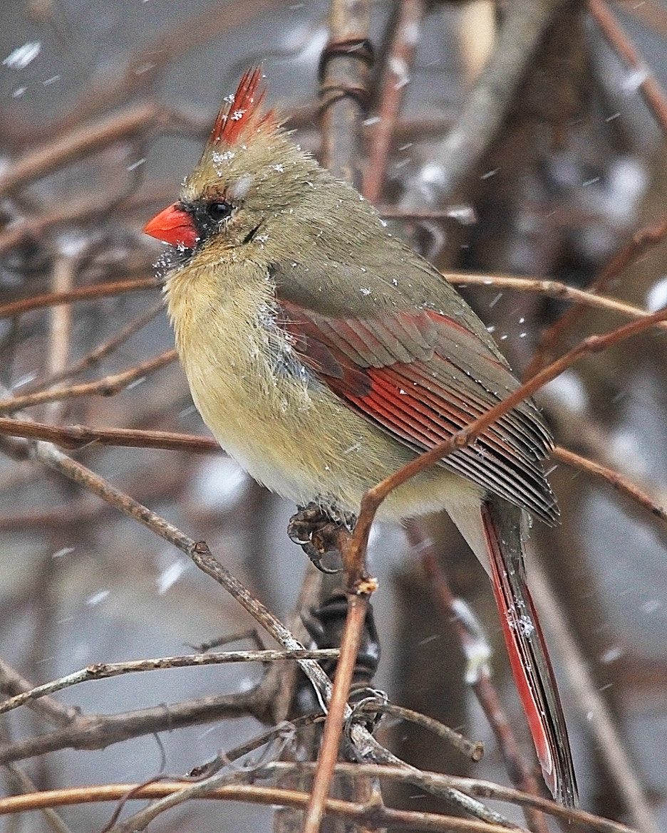 Photograph Female Cardinal in snow by Brian Masters on 500px