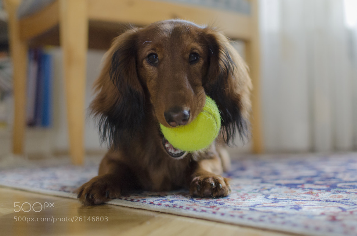 Photograph Young Teckel with Tennisball by Matze Katze on 500px