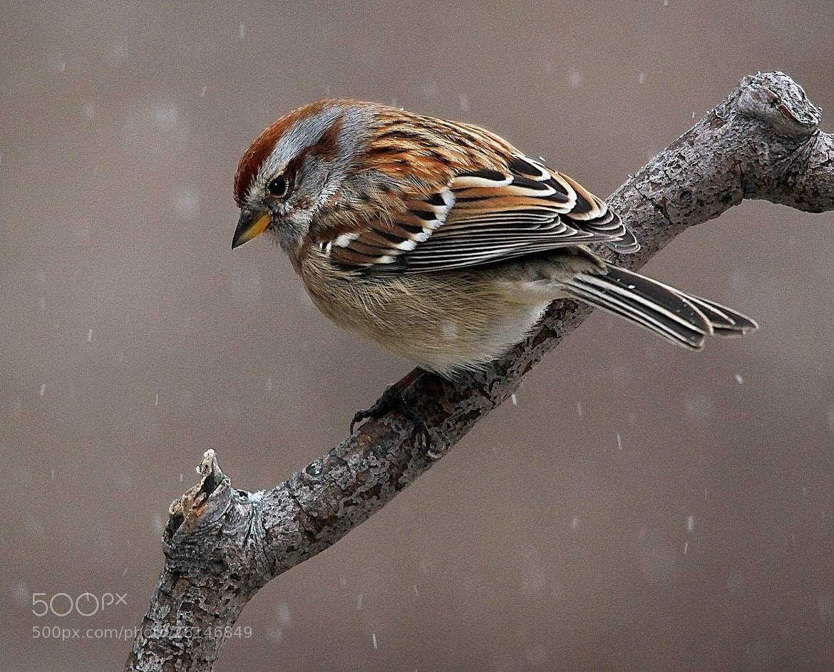 Photograph Sparrow in snow by Brian Masters on 500px
