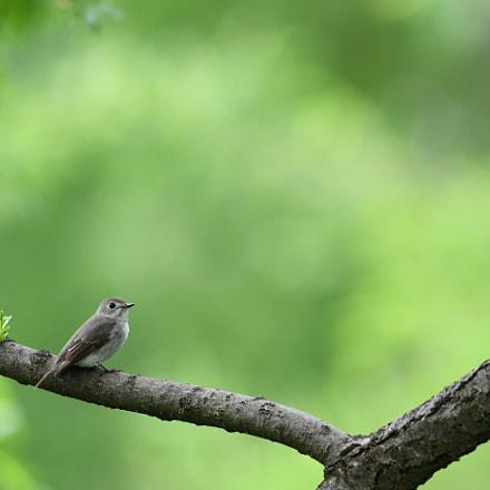 Brown flycatcher, Nikon D500