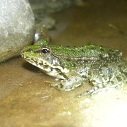 Frog, Nikon COOLPIX P90