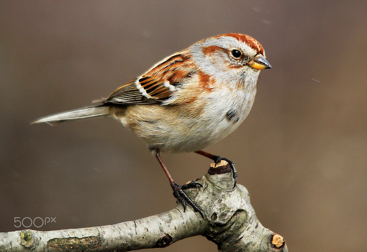 Photograph Tree Sparrow by Brian Masters on 500px