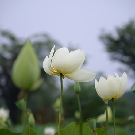 又是一年花开时,lotus flower, Nikon D610, AF Zoom-Nikkor 70-210mm f/4