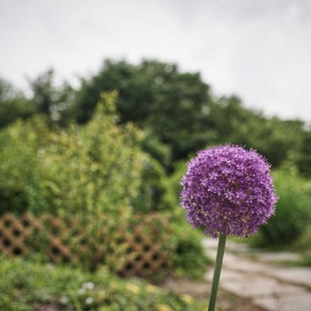 Allium, Nikon D810