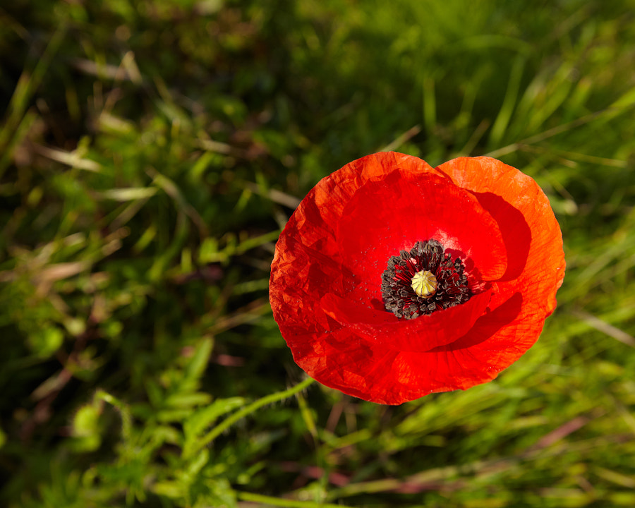 A poppy in morning light