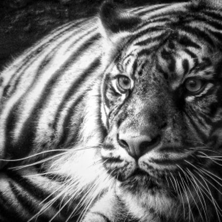 Beauval's tiger , Canon POWERSHOT SX200 IS