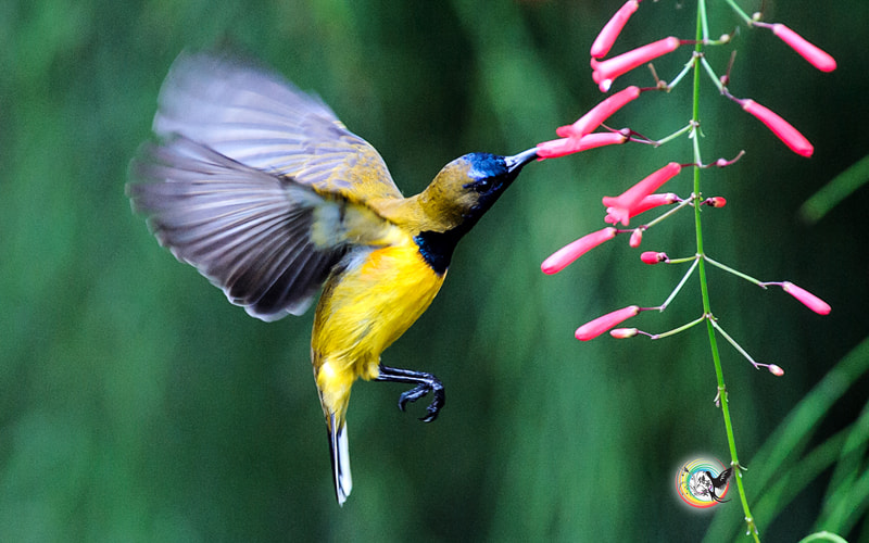 Photograph Olive-Backed Sunbird II by Andy Fu on 500px