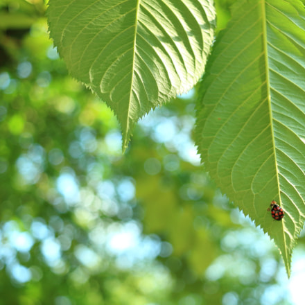 Ladybug on green leaf, Canon EOS KISS X7, Canon EF-S 24mm f/2.8 STM