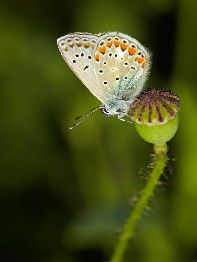 Butterfly on a poppy