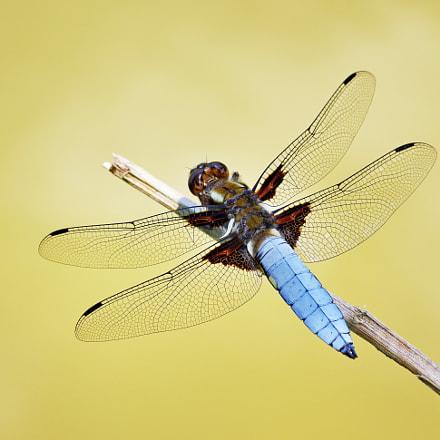 Dragonfly, RICOH PENTAX K-3 II, smc PENTAX-D FA 100mm F2.8 Macro