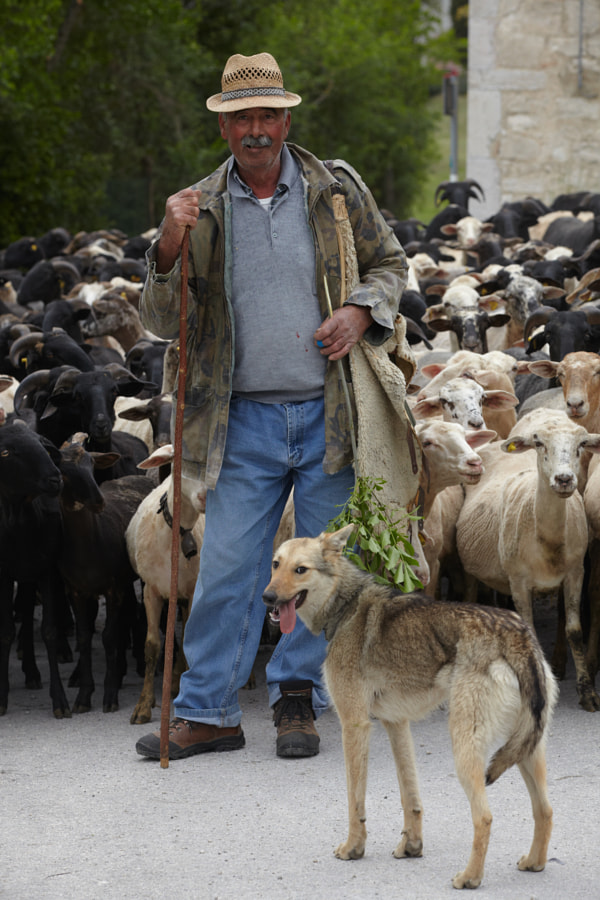Santino with his herd and dogs
