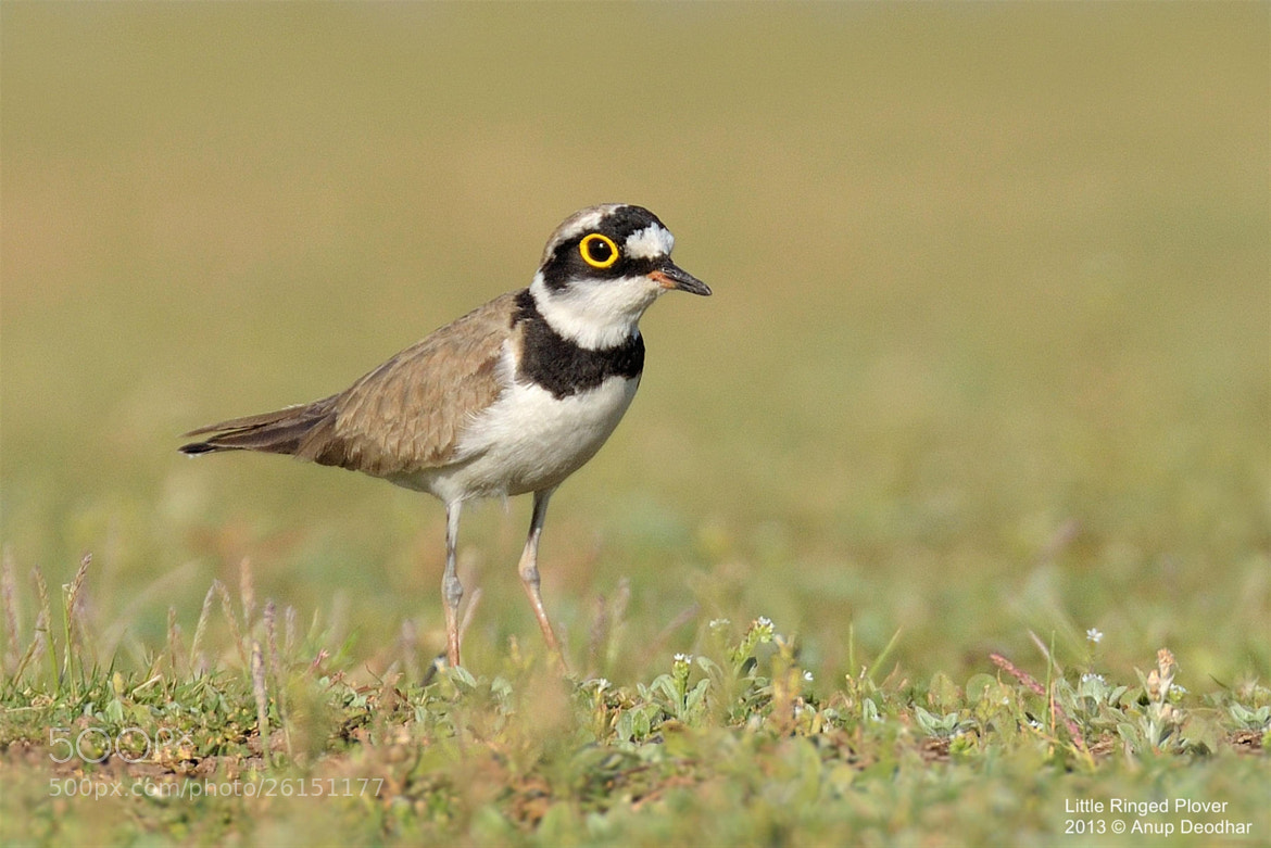 Photograph Little Ringed Plover by Anup Deodhar on 500px