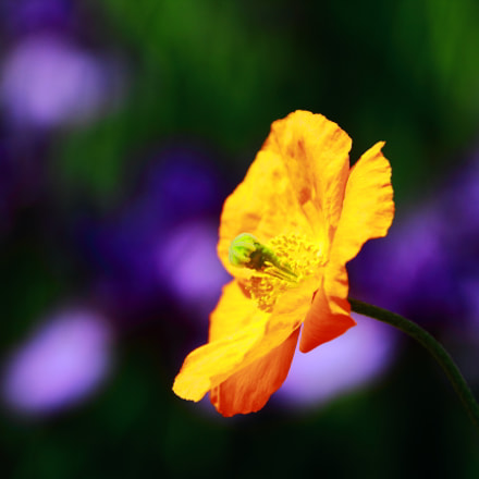 poppy flower, Canon EOS 60D, Sigma 18-250mm f/3.5-6.3 DC OS HSM
