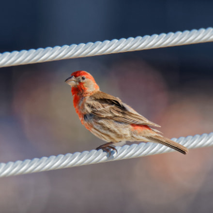 House Finch (male), Canon EOS REBEL T7I, Canon EF 100-400mm f/4.5-5.6L IS II USM