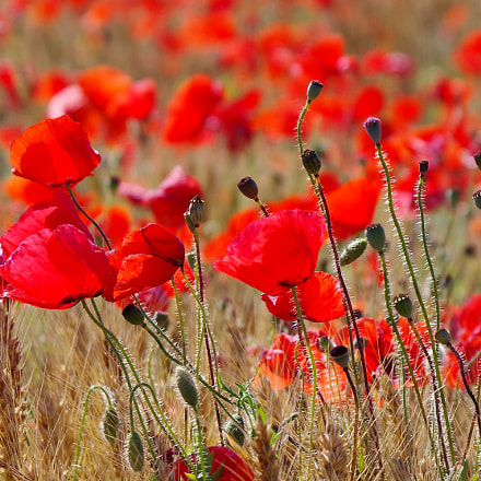 red poppies, RICOH PENTAX K-1, HD PENTAX-D FA 28-105mm F3.5-5.6 ED DC WR