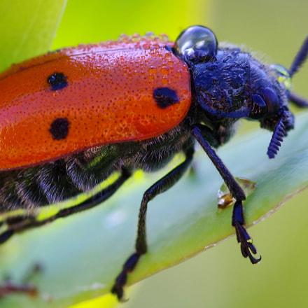 Lachnaia sexpunctata (Chrysomelida) beetle, RICOH PENTAX K-1, smc PENTAX-D FA Macro 100mm F2.8 WR