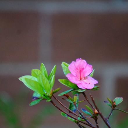 flower, Sony ILCE-6000, Sony E 55-210mm F4.5-6.3 OSS