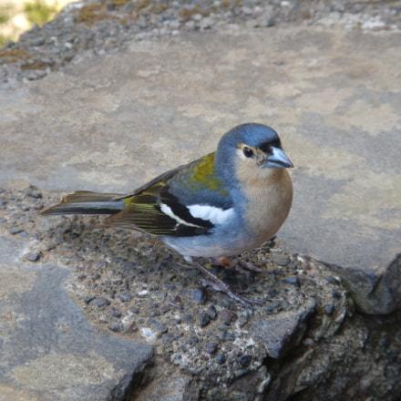 Blue Bird in Madeira, Nikon COOLPIX AW110