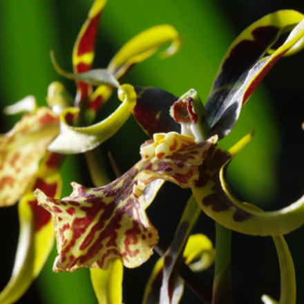 Orchid, RICOH PENTAX K-3 II, smc PENTAX-D FA Macro 100mm F2.8 WR