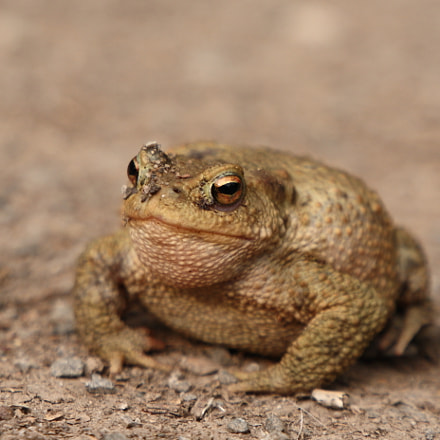 Common Toad, Canon EOS 5D, Canon EF 24-105mm f/3.5-5.6 IS STM