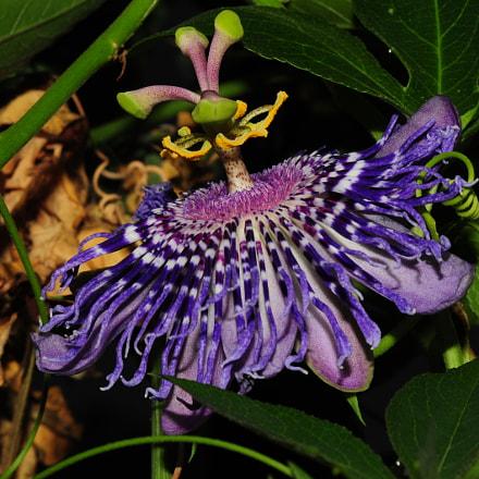 Passiflora, Nikon D700, Tokina AT-X M100 AF PRO D (AF 100mm f/2.8 Macro)