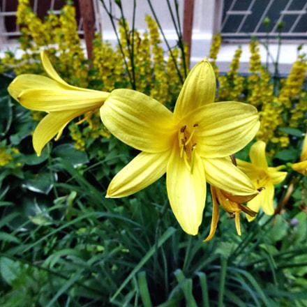 Yellow Lilies, Panasonic DMC-TZ60