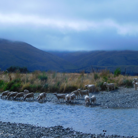 Sheep on Riverbank, Nikon COOLPIX L840