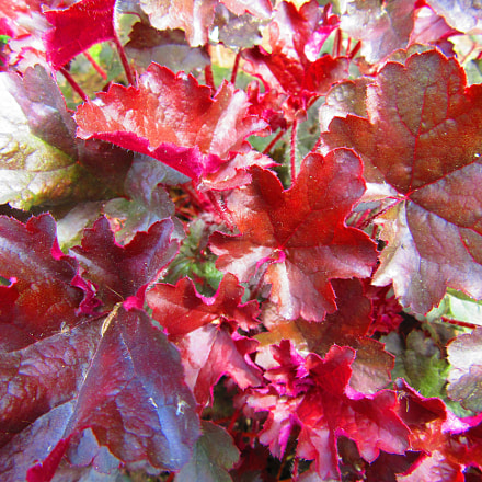 Red Leaves, Canon POWERSHOT SX610 HS