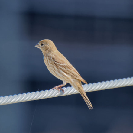 House Finch (female), Canon EOS REBEL T7I, Canon EF 100-400mm f/4.5-5.6L IS II USM