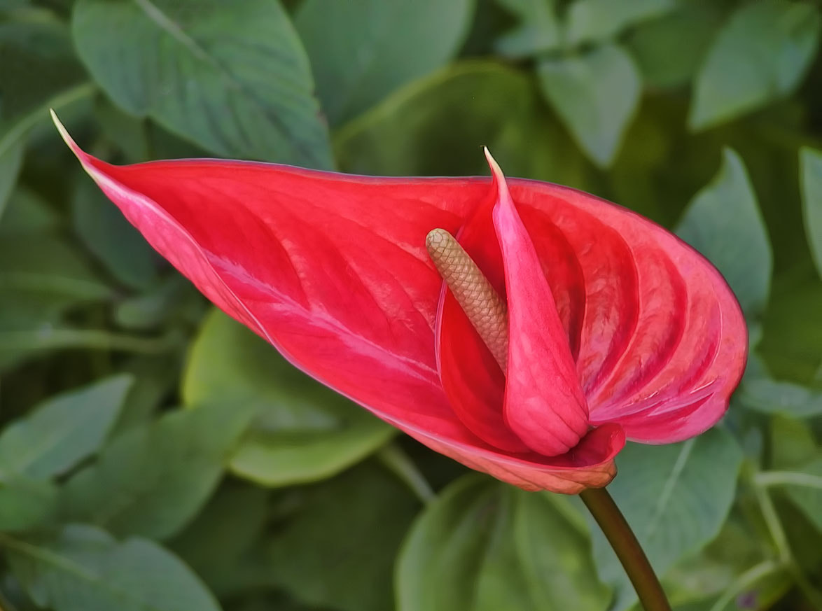 Photograph Anthurium by Sharon Smith on 500px