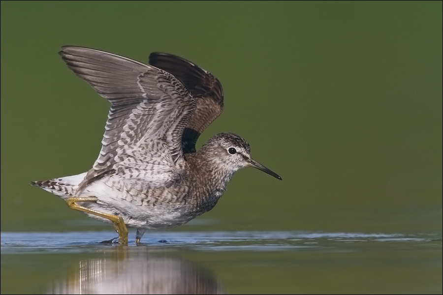 Photograph Wood sandpiper by Marcin Perkowski on 500px
