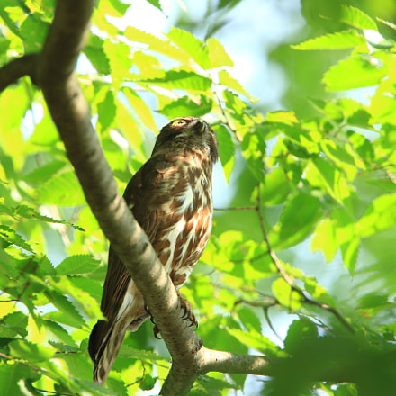 Brown hawk owl  アオバズク, Canon EOS 7D MARK II