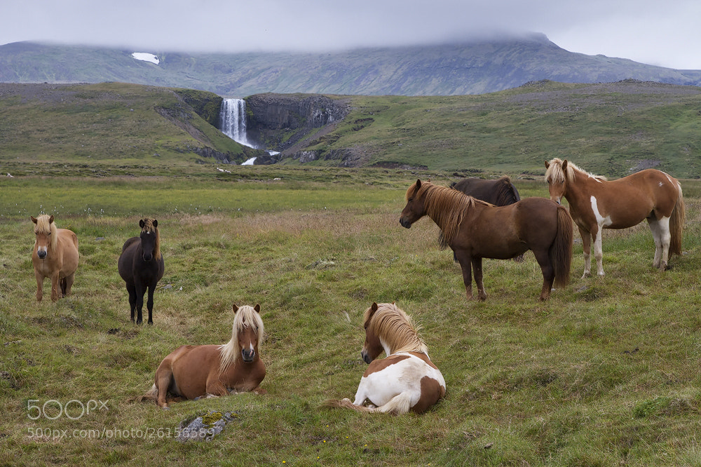 Photograph Iceland horses by Michael Schwarzmüller on 500px