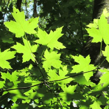 green, hybrid swamp-maple leaves, Canon POWERSHOT SX510 HS